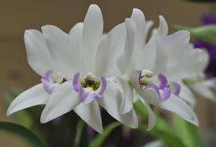 白紫(少)2